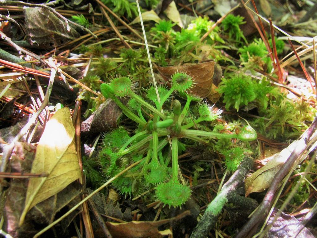Botany Thread-drosera-intermedia-maybe-2.jpg