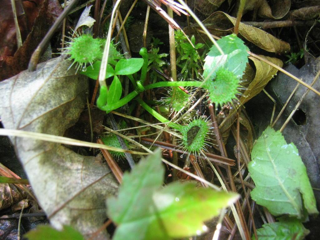 Botany Thread-drosera-intermedia-maybe.jpg