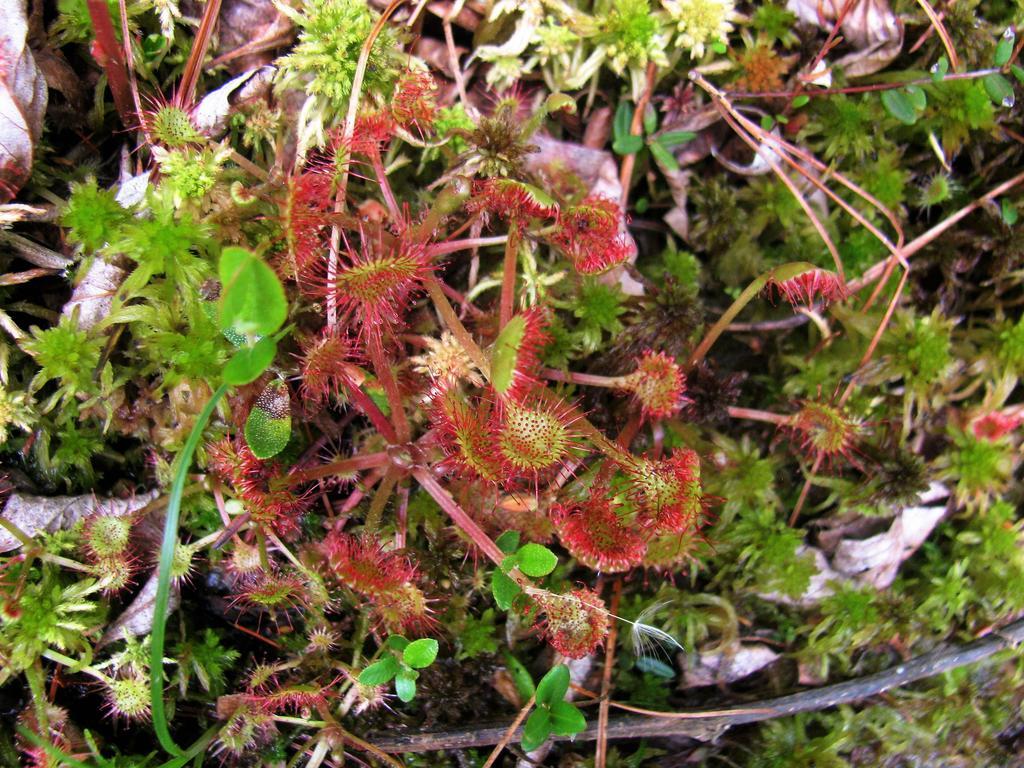 Botany Thread-drosera-rotundifolia.jpg
