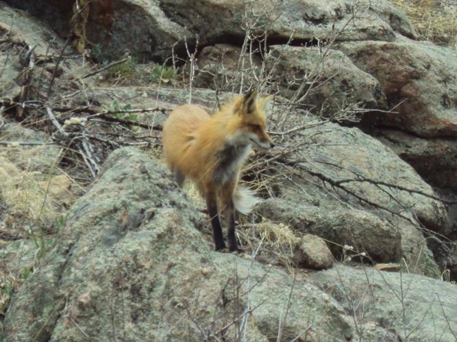 Another Tawdry Vixen blocking the trail.-dsc03213.jpg