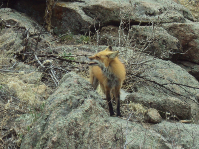 Another Tawdry Vixen blocking the trail.-dsc03214.jpg