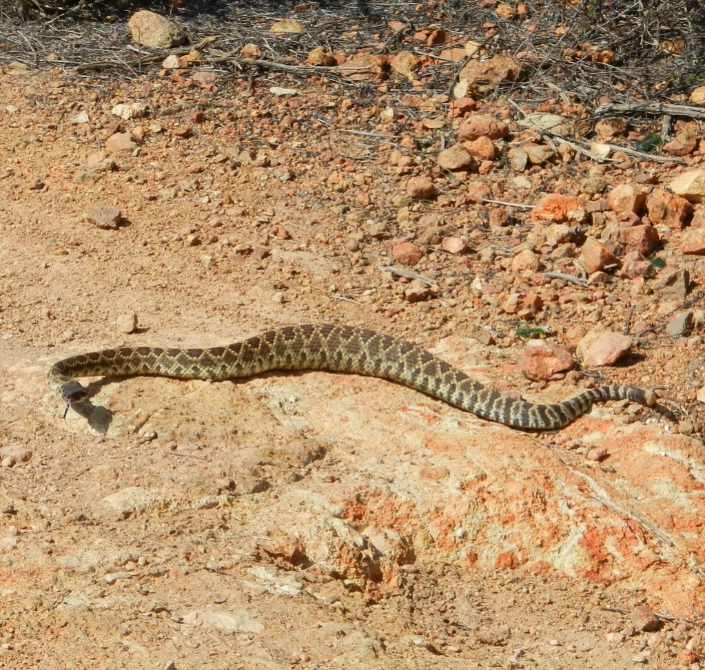 Who's run over a Rattler?  now that its snake season-dscn1176.jpg