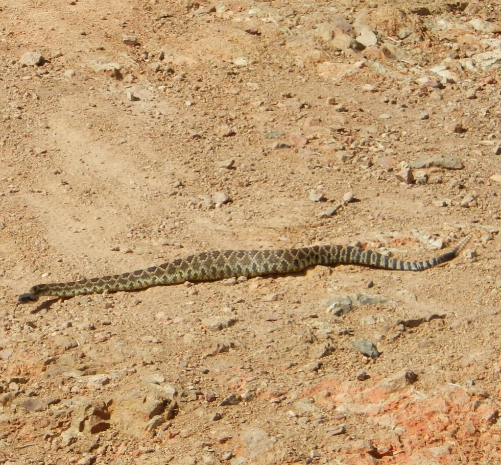 Who's run over a Rattler?  now that its snake season-dscn1179.jpg