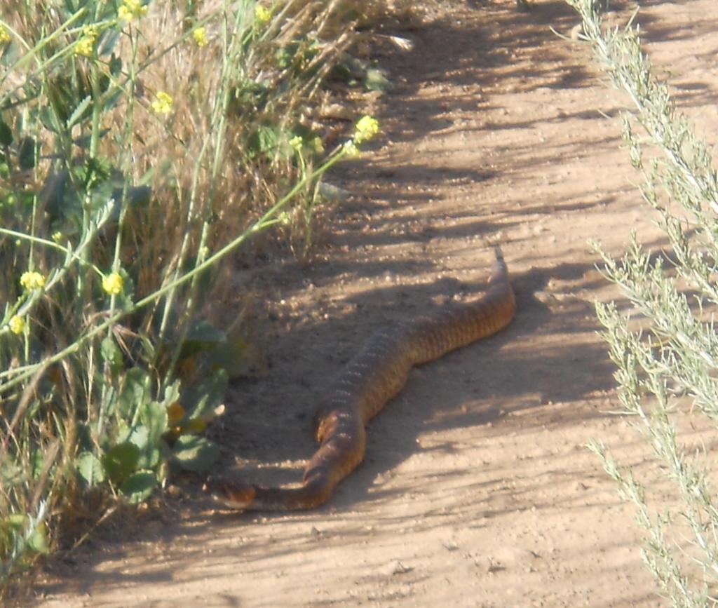 Who's run over a Rattler?  now that its snake season-dscn5709.jpg