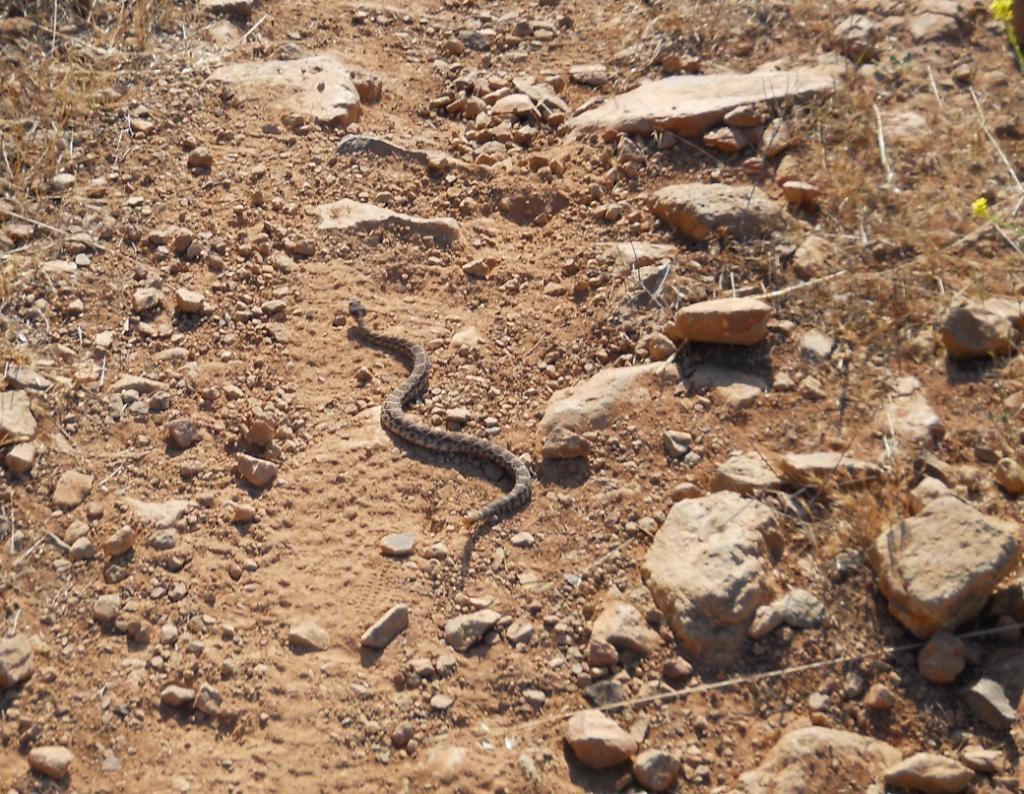 Who's run over a Rattler?  now that its snake season-dscn5858.jpg