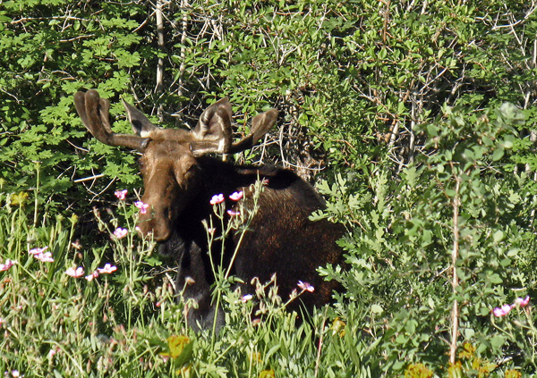 Moose in Park City...Common?-east-canyon-moose.jpg