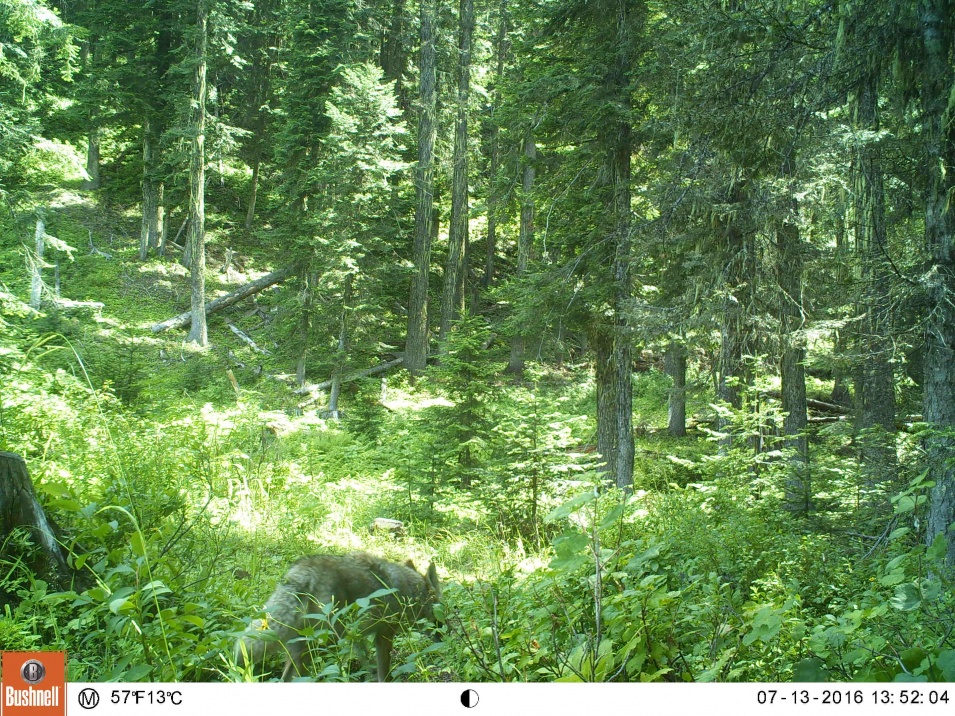 couple of trail cam pics to show the size difference between a wolf and a coyote.-ek000067.jpg