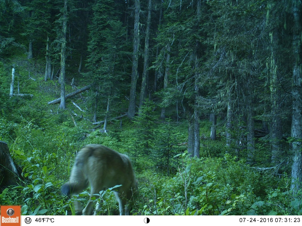 couple of trail cam pics to show the size difference between a wolf and a coyote.-ek000920.jpg