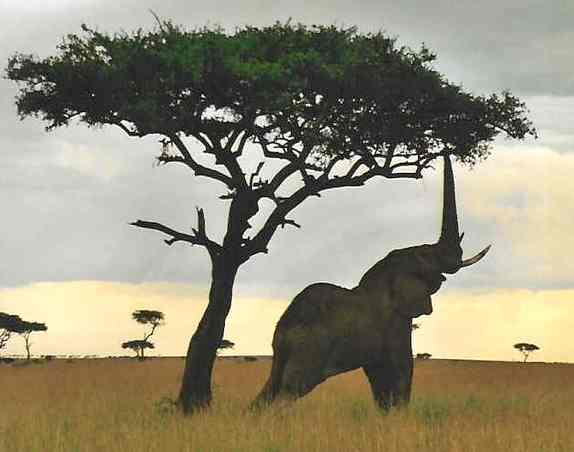 Anyone been up on BST/Bobsled recently?-elephant_dusk_savana_reaching_tree.jpeg