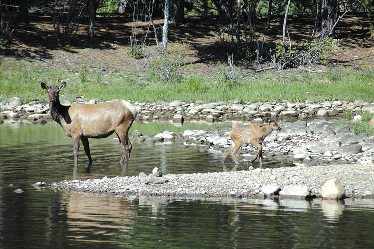 Riding With Our Wives-elk-calving.jpg