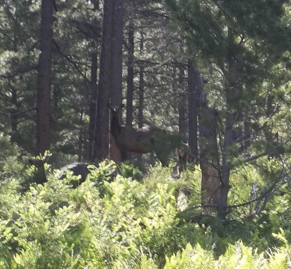 Los Burros Loop, Wildlife and trail photos-elk2.jpg
