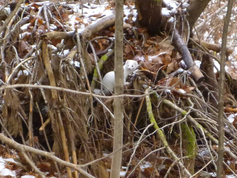 Today's Pic or Story-ermine7.jpg