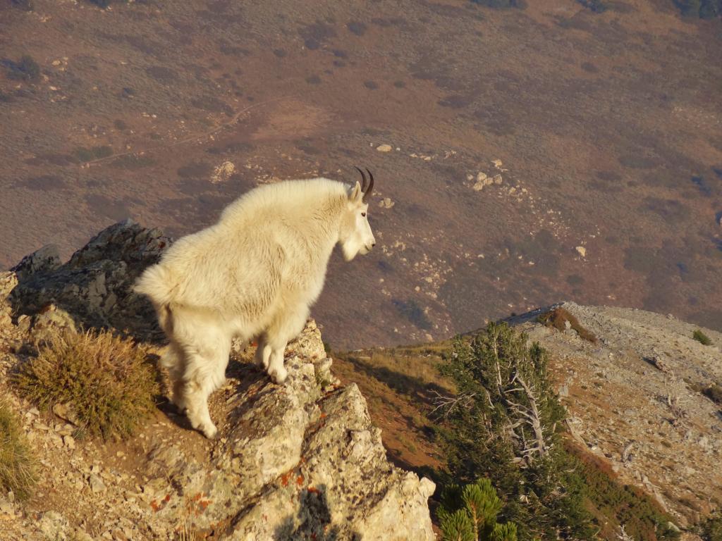 Trip Report - More Utah awesomeness (UT x-post, pic heavy!)-evdog-goat.jpg