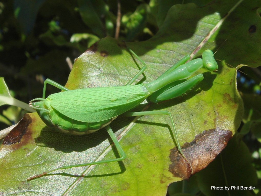 Bugs / Insects-female-mantis.jpg