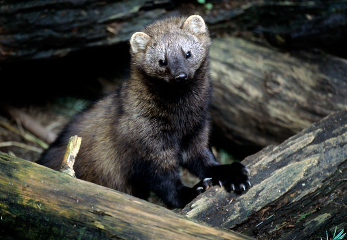 I know, not possible, but I swear I saw a Wolverine on Skyliners just north of Phil's-fisher.jpg