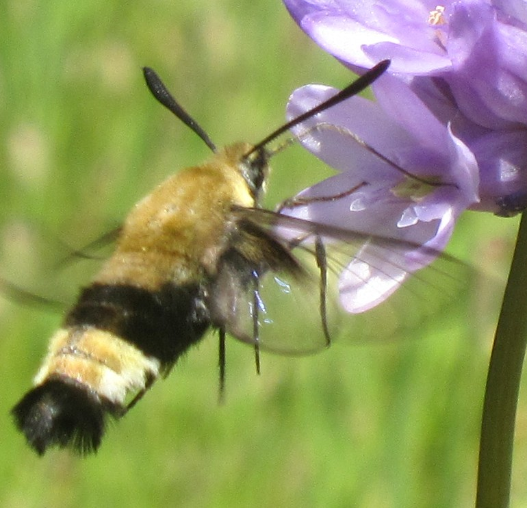 Wildlife you have seen on trail...post your pics...-flower_blue_bee_tongue.jpg