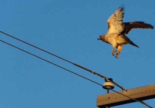Photography Thread-forum_chickenhawk.jpg