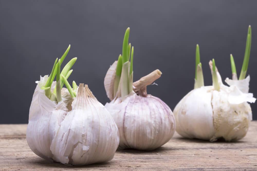 Vegetarian and Vegan Passion-garlic-sprouting-1.jpg