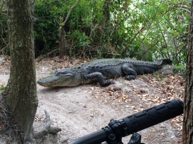 Wildlife you have seen on trail...post your pics...-gator.jpg