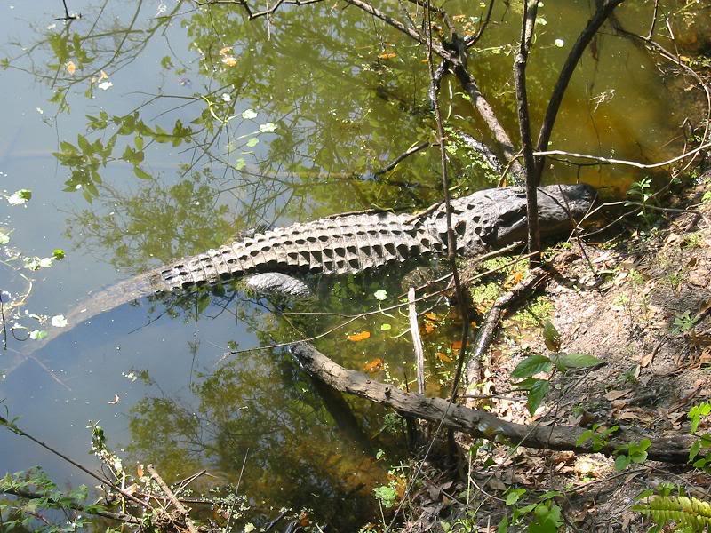 animal encounters-gator1.jpg