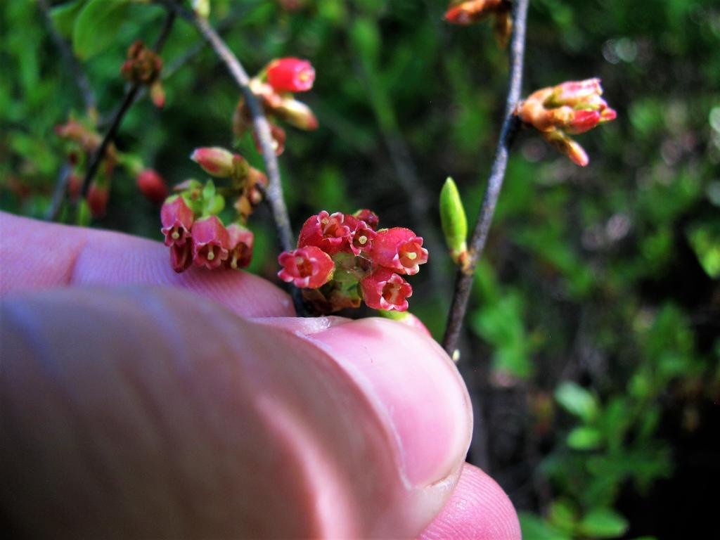 Botany Thread-gaylussacia-baccata-flowers.jpg
