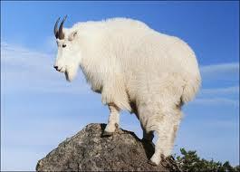 Name:  goat 2.jpg Views: 462 Size:  6.7 KB