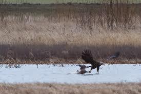 Name:  goose.jpg Views: 467 Size:  6.8 KB