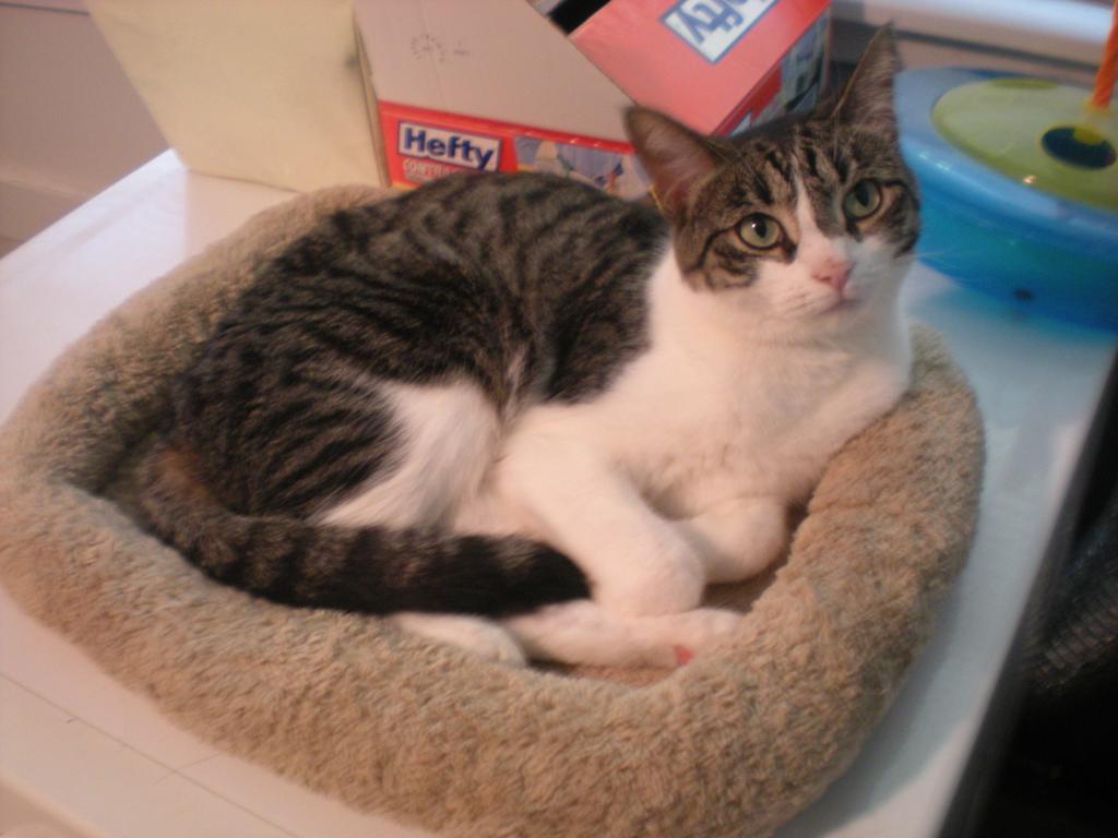 Cat Passion (here kittie, kittie, my new best friend...) Post your cat photos.-gracie.jpg