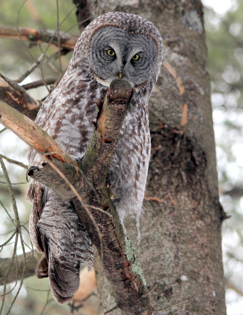 Wildlife you have seen on trail...post your pics...-great-grey-owls-011.jpg