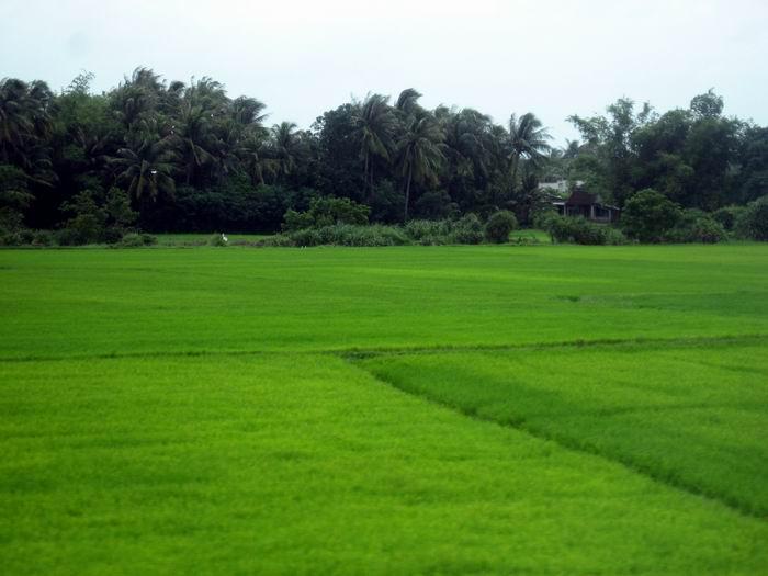 Green Rice Paddies