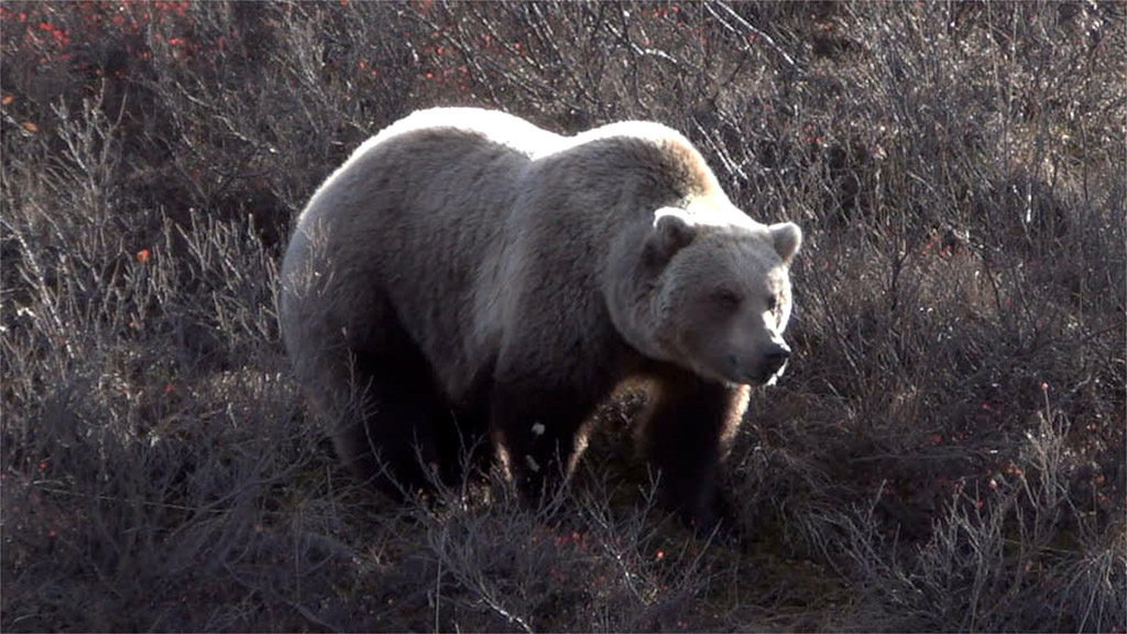 Post a picture or two of your neck of the woods-grizzly1024.jpg