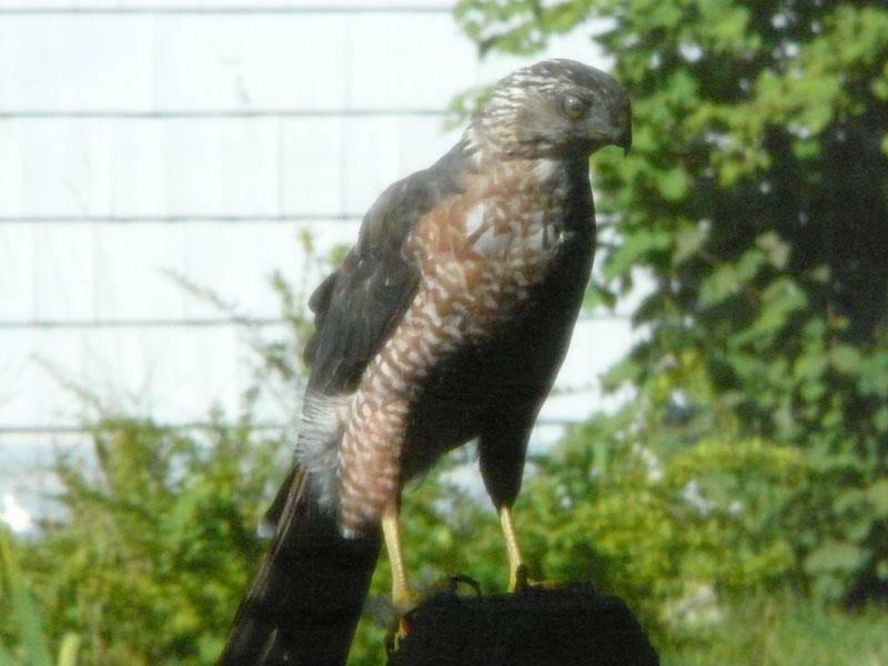Seen any wildlife on the trail?-hawk3.jpg