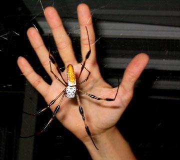 Name:  heather-banana-spider_8711[1].jpg Views: 1034 Size:  18.2 KB
