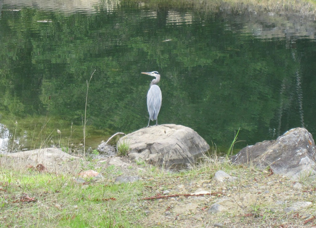 Wildlife you have seen on trail...post your pics...-heron.jpg