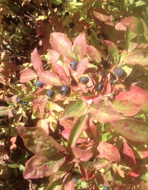 3 Month BC Trip-huckleberries.jpg
