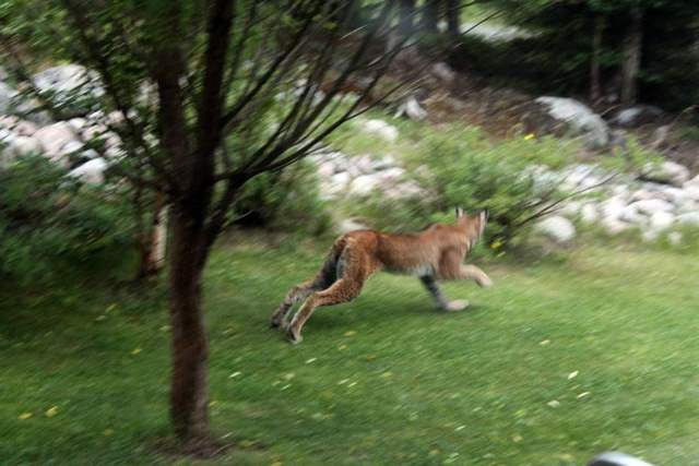 Wildlife you have seen on trail...post your pics...-ilves_aamulehti.jpg