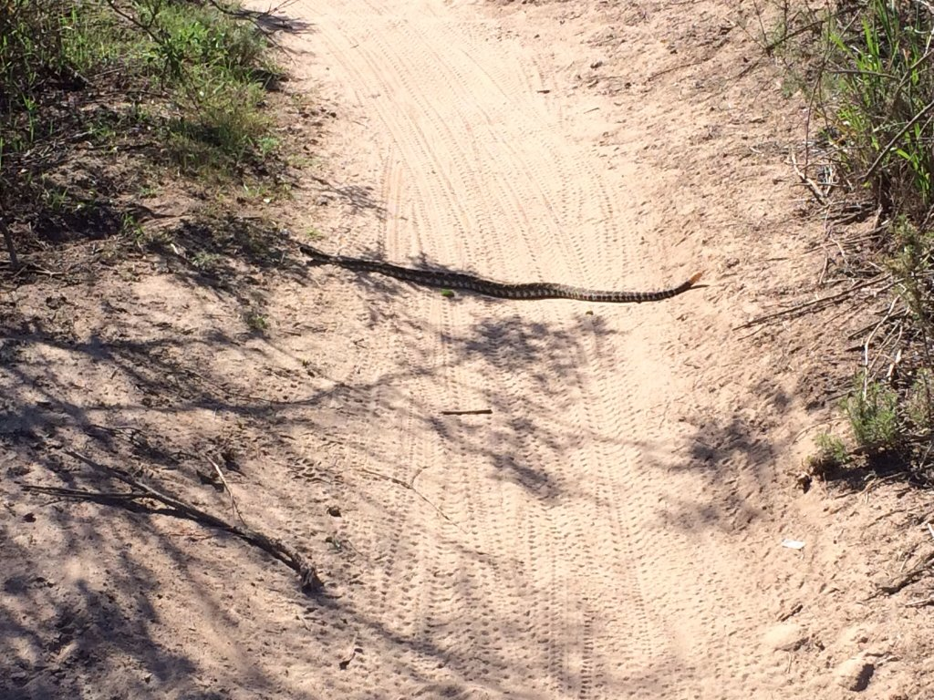 Rattlesnake...the other-other-OTHER white meat.-image.jpg
