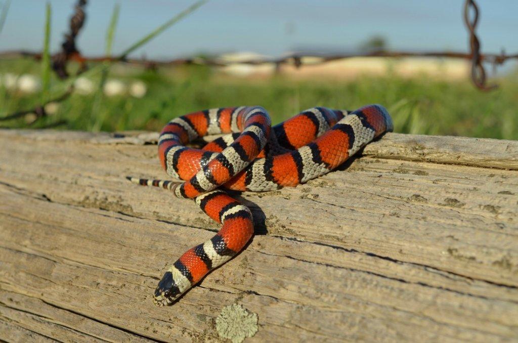 Tiger rattlesnake bite