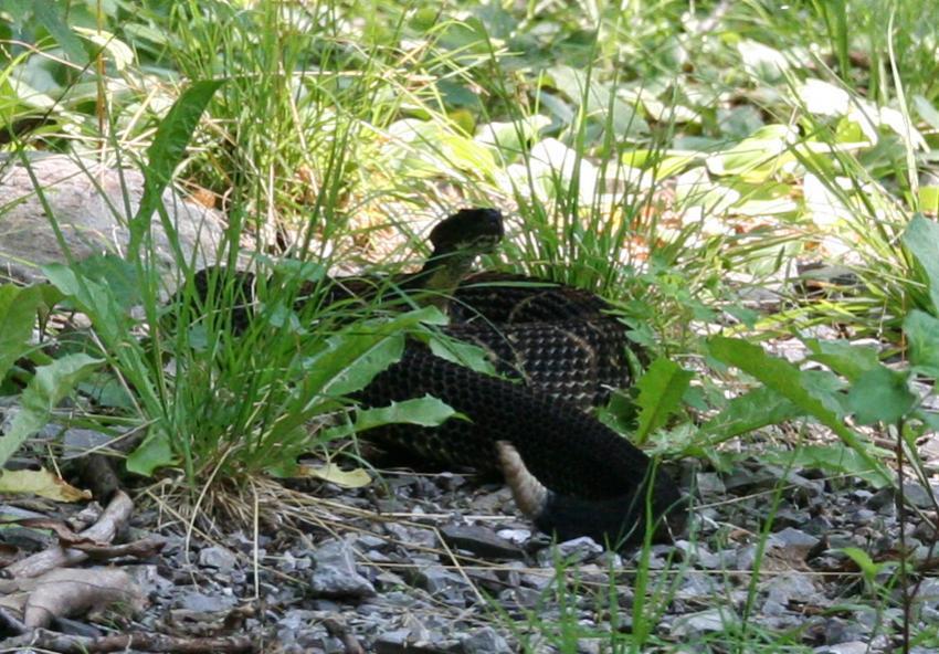 Mountain Biker Vs Rattlesnake-img_0666_edited-1.jpg