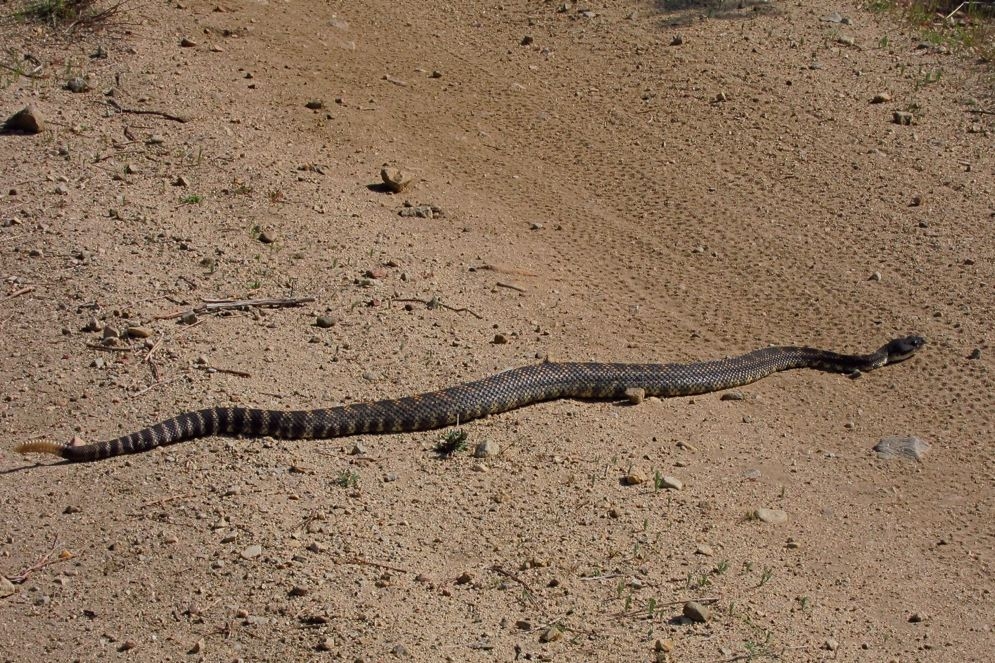 Who's run over a Rattler?  now that its snake season-img_0794.jpg