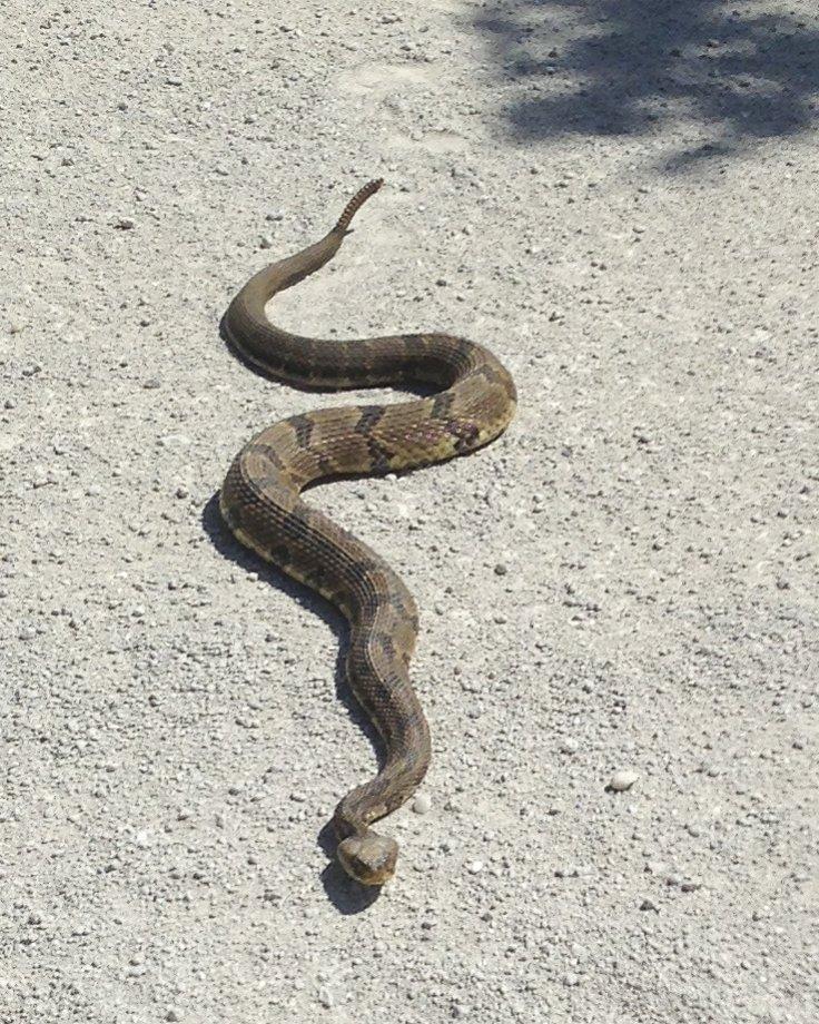 Rattlesnakes!!!!!!-img_0836.jpg