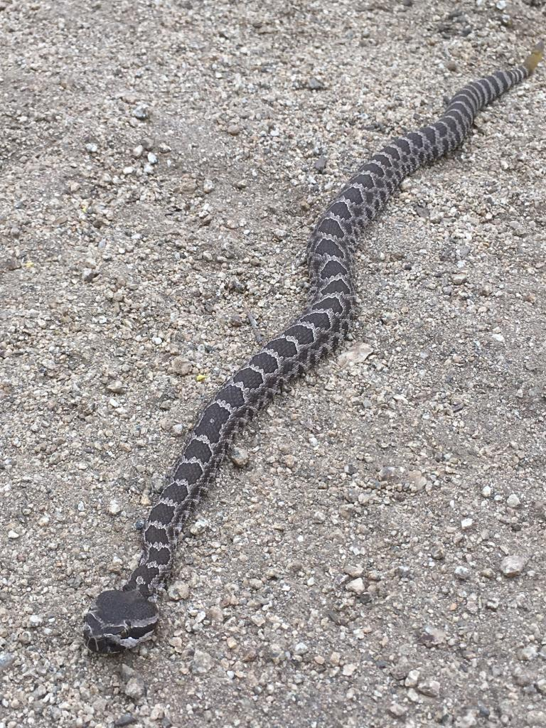 Who's run over a Rattler?  now that its snake season-img_1049.jpg