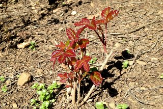 Poison oak at Fremont Older, Northern CA.
