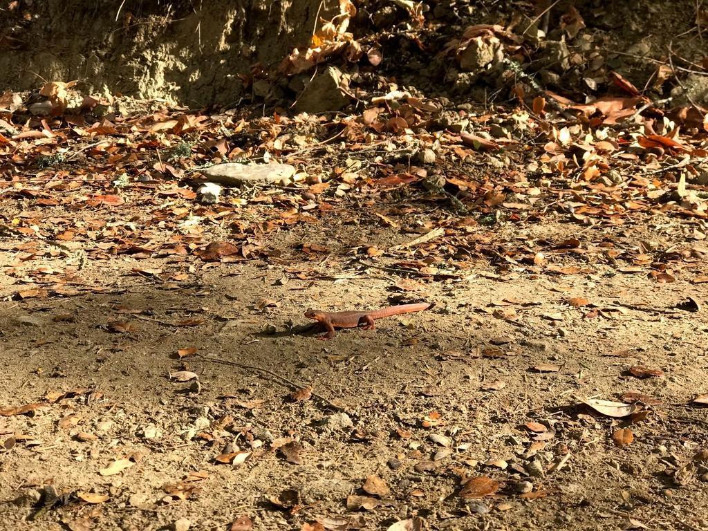 Newts on John Nicholas Trail-img_1785.jpg