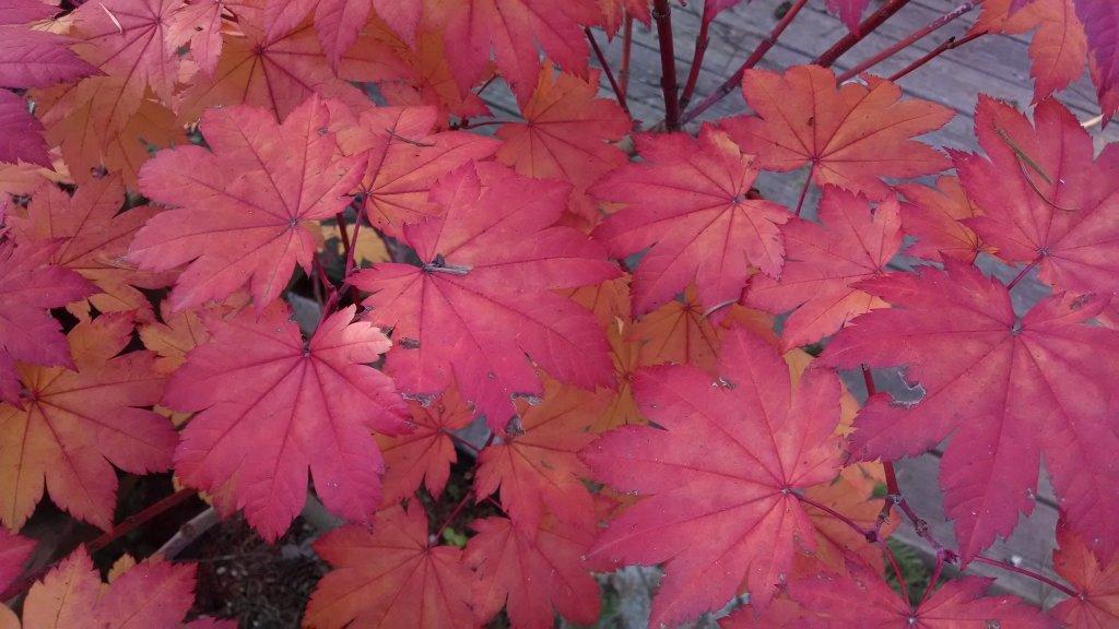 Post Pics of your Fall Foliage!!-img_20131010_170846229.jpg
