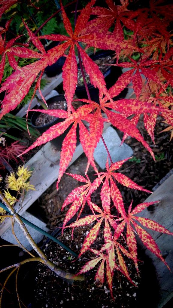 Post Pics of your Fall Foliage!!-img_20131011_000226.jpg