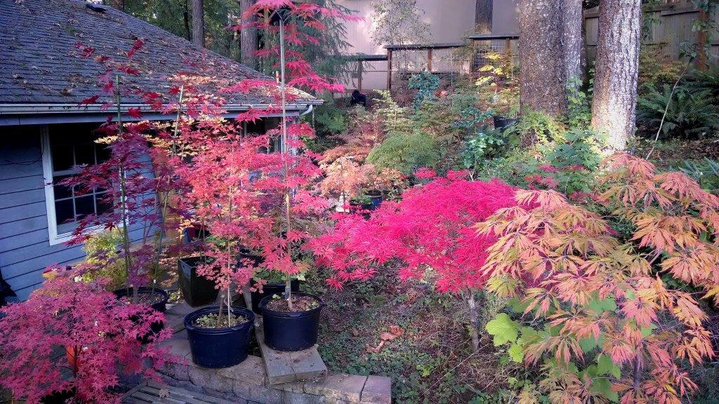 Post Pics of your Fall Foliage!!-img_20131011_001607.jpg
