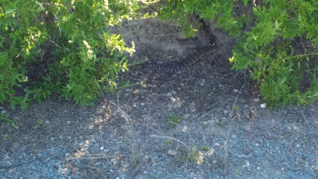 Who's run over a Rattler?  now that its snake season-img_20170312_100633708.jpg