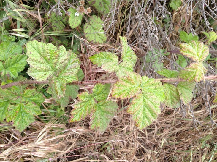 Is this Poison Oak? (photo)-img_2093.jpg