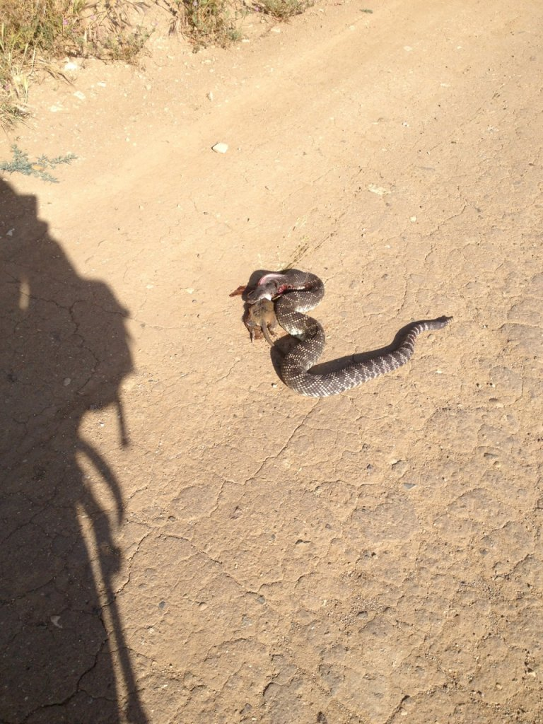 Who's run over a Rattler?  now that its snake season-img_3294.jpg